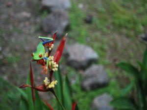 broscuta nationala a Costa Ricai
