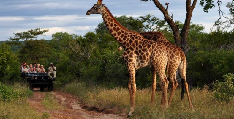 africa_south_africa_giraffes_-1_1
