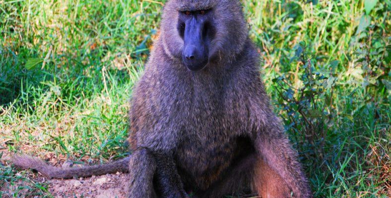 cimpanzeu kenya