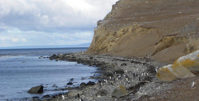 chile penguins site