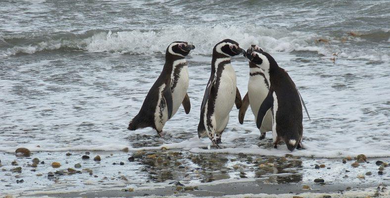 punta arenas penguins chile site