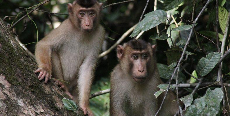 borneo monkeys