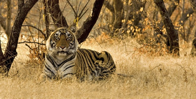 Tiger sitting on the dry grasses of the  dry deciduous forest of Ranthambore tiger reserve at sunrise