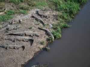 crocodili in drum spre Manuel Antonio