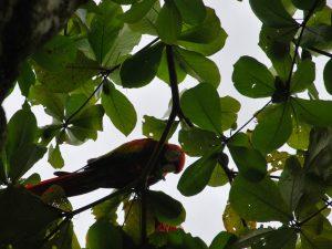 pereche de papagali in Lapa Rios