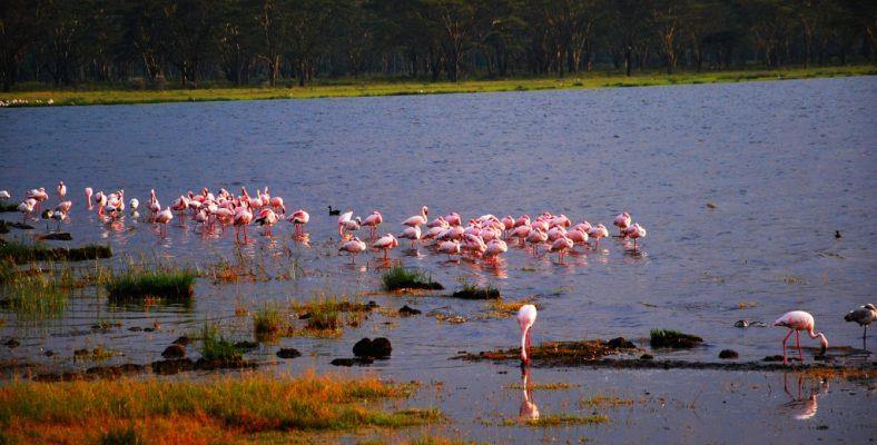 flamingo kenya