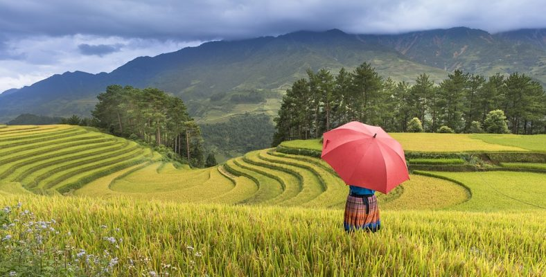asia local rice fields