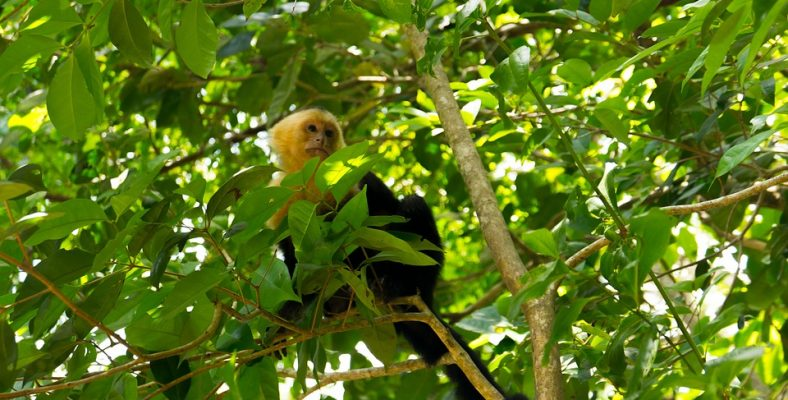 capuchin monkey manuel antonio
